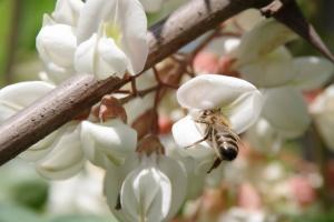 Včela na květu akátu