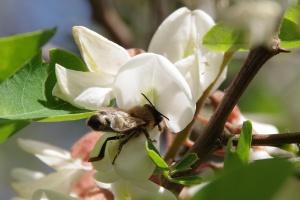 Včela saje nektar z akátového květu