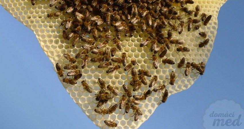 Včely na novém plástu