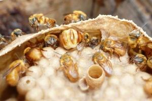 Bezžihadlové včely