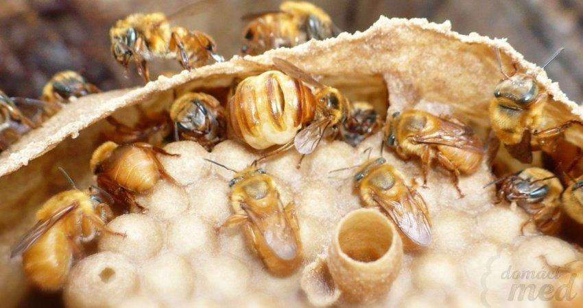 Bezžihadlové včely - Melipona