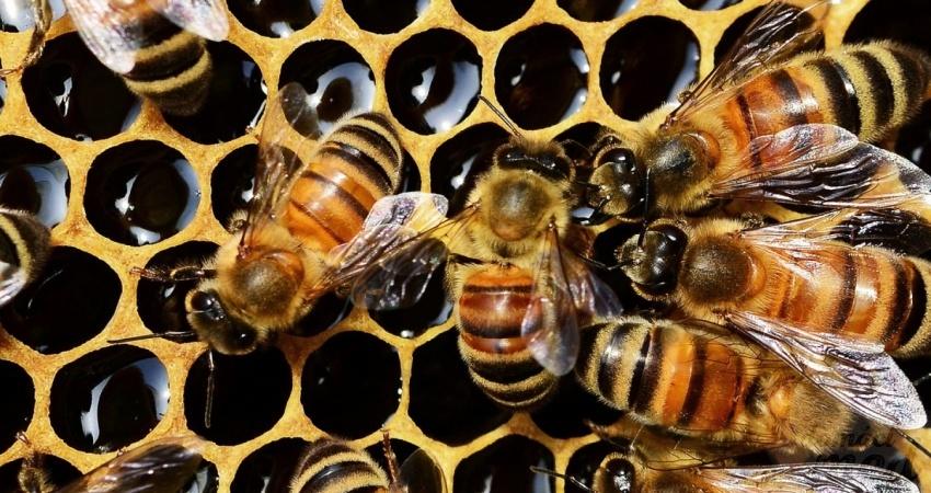 buckfast-bee