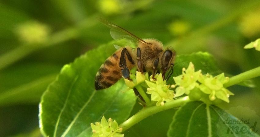 včela na květu cicimku čínského (Ziziphus jujuba)