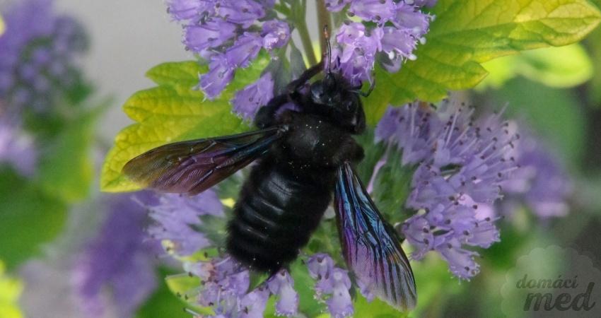 Drvodělka fialová (Xylocopa violacea)