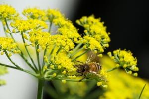 Fenyklový med