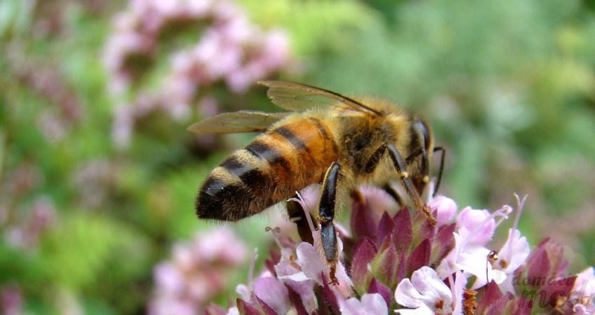 včela na mateřídoušce