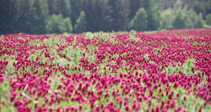 Jetel inkarnát (Trifolium incarnatum)