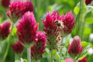 Včela na květu - Jetel inkarnát