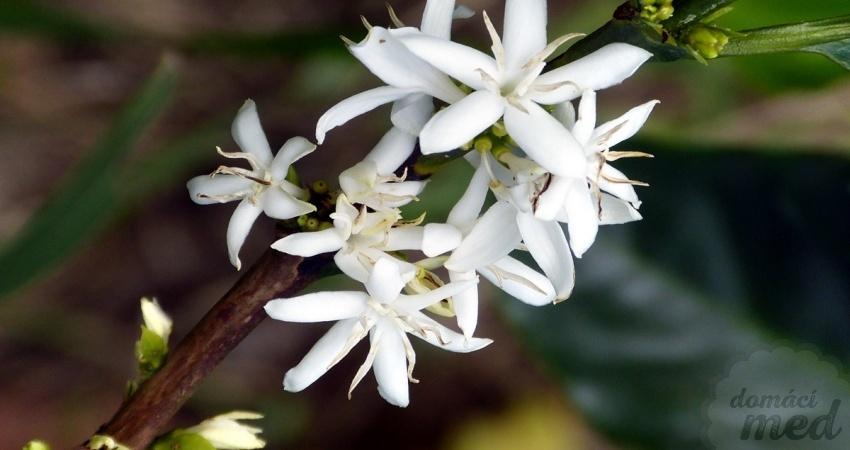 Květ kávovníku (Coffea arabica)