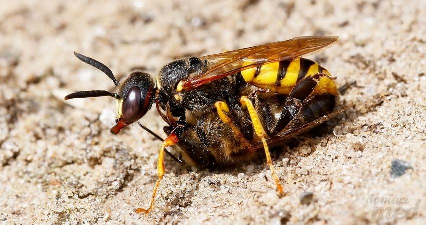 Květolib včelí (Philanthus triangulum)