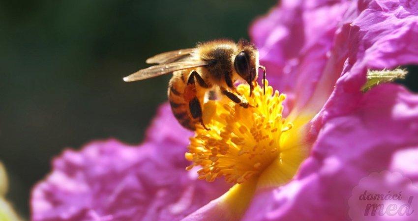 včela medonosná na květině