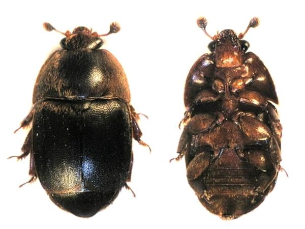 Lesknáček úlový (Aethina tumida)