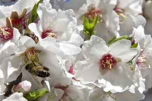 Mandloňový med