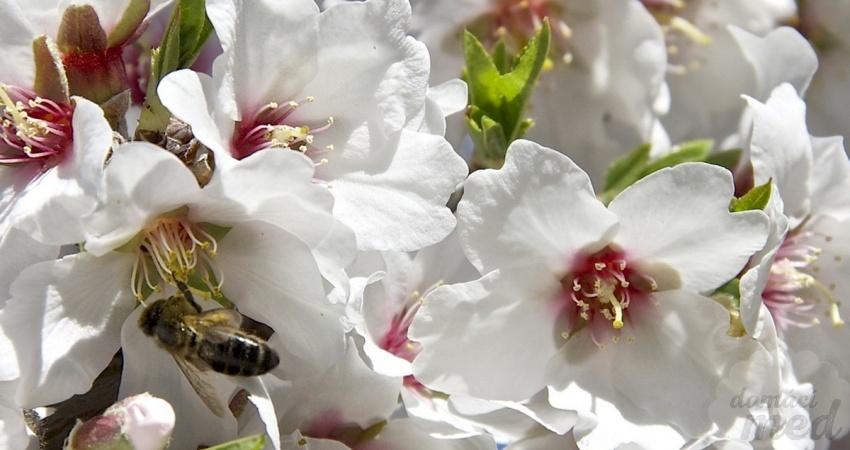 Květy mandloně