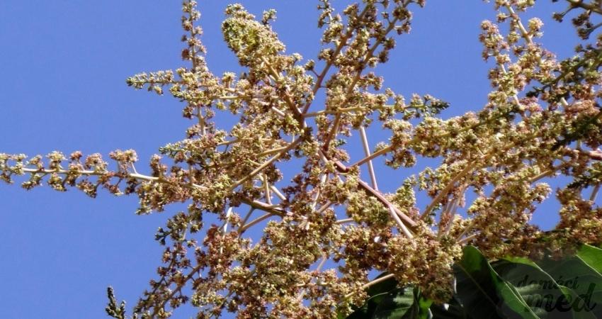 květy mangovníku