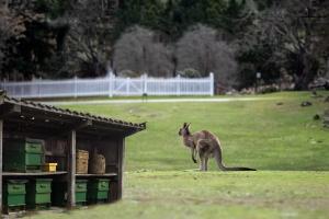 Manuka med z Nového Zélandu nebo z Austrálie?