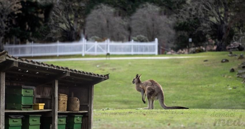 Manuka med, Nový Zéland, Austrálie