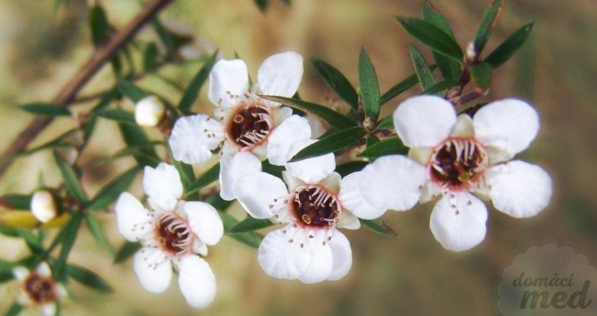 Manuka – květy balmínu košťatého