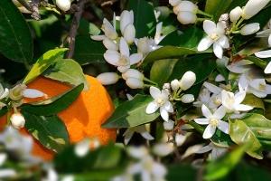 Pomerančový med