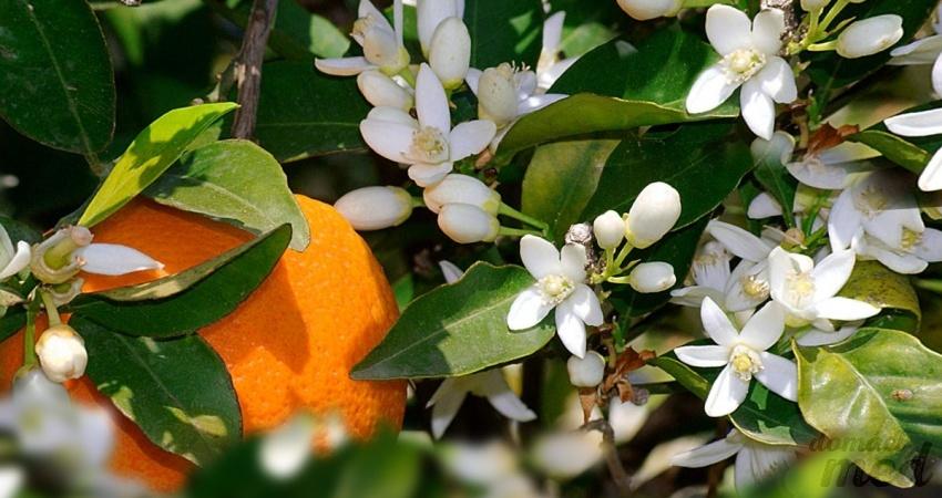 květy pomerančovníku