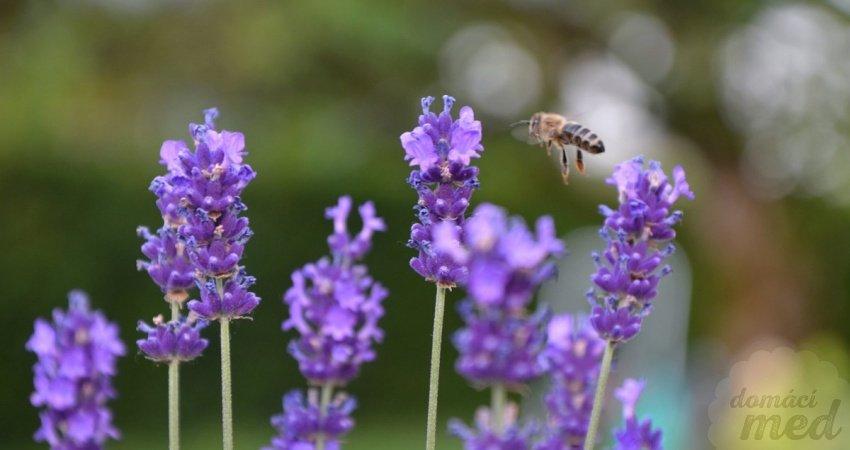 včela na levandulích