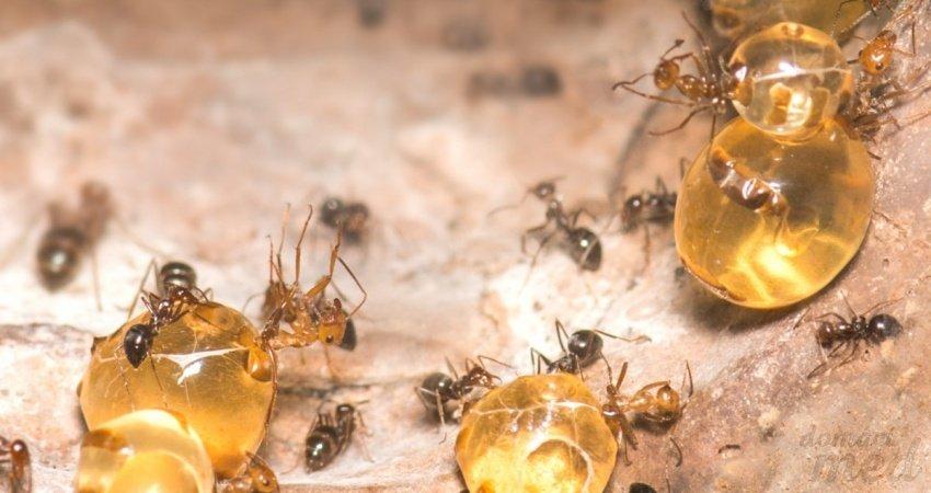Mravenec medonoš (Myrmecocystus mimicus)