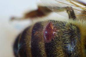 Kleštík včelí (Varroa destructor) na těle včely