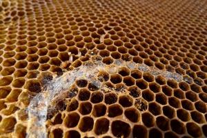 Nemoci včel