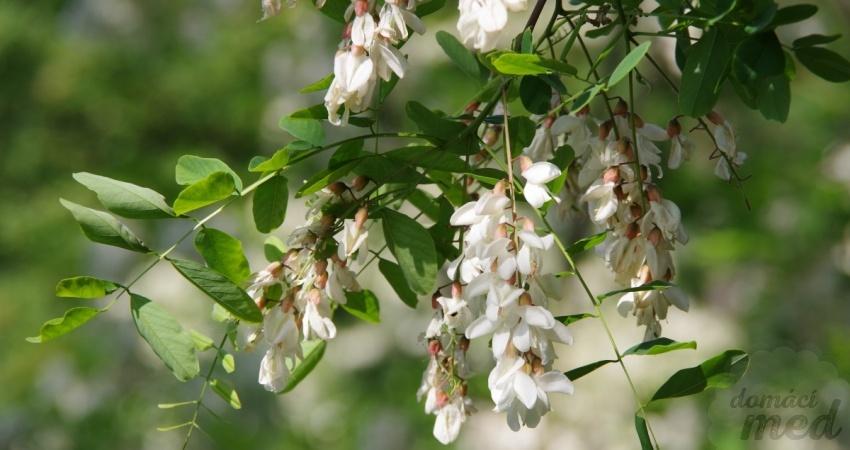 Trnovník akát - květy