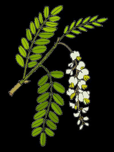 Trnovník akát (Robinia pseudacacia)