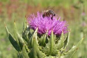 Ostropestřecový med