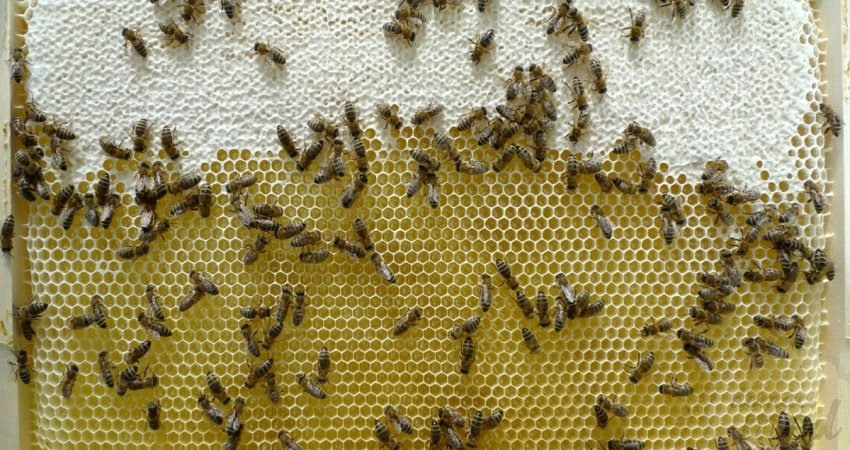 včelí plást s medem