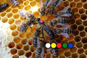 Barvy značení včelích matek