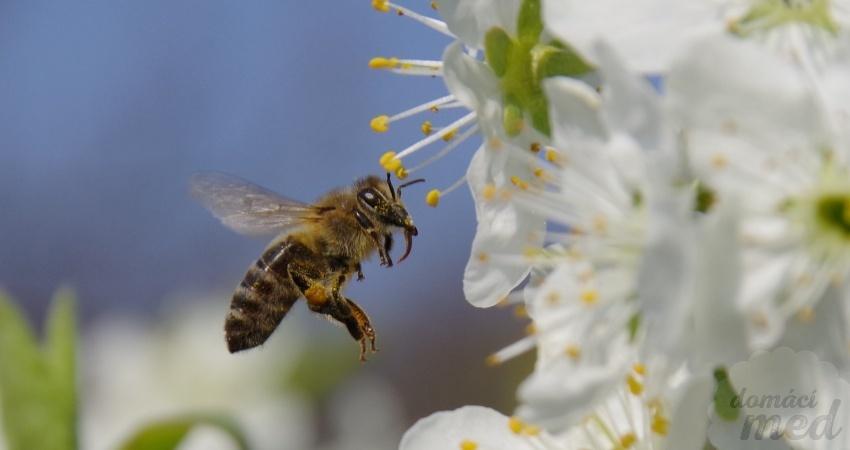 včela sbírá pyl