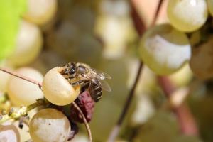 Pyment (vinná medovina)