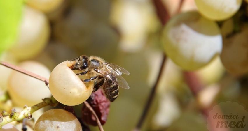 Včela na hroznech