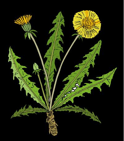 Pampeliška lékařská (Taraxacum officinale)