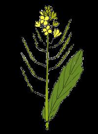 Brukev řepka (Brassica napus)