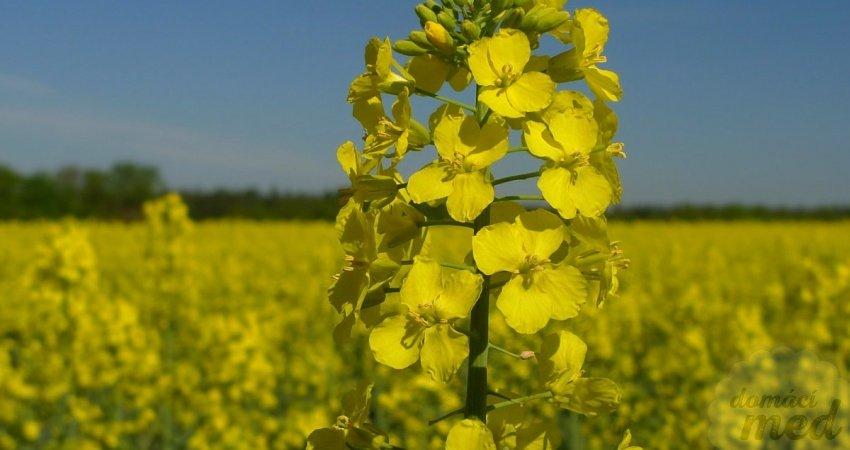 Brukev řepka olejka (Brassica napus)