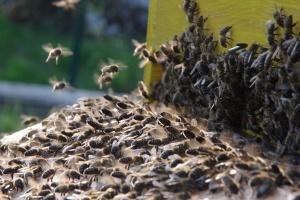 usazování včelího roje