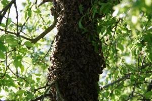 včelí roj na větvi