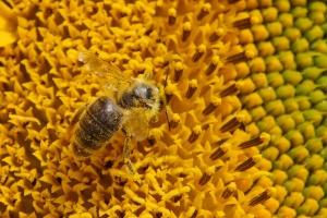 Včela sbírá pyl na slunečnici
