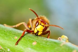 Sršní nektar