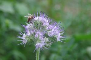 Svazenkový med