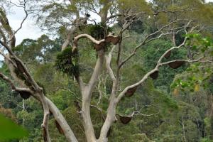 Včelí hnízda na stromě Tualang (Koompassia excelsa)