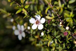 Účinky a využití manukového medu