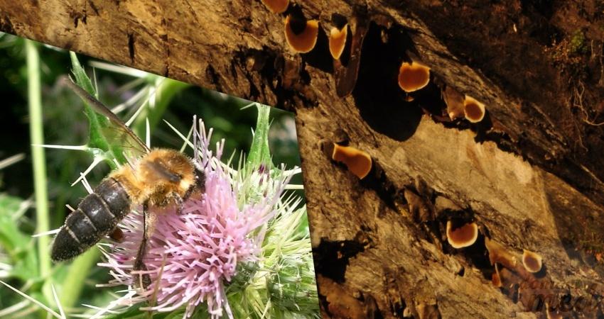 Včela skalní (Apis laboriosa)