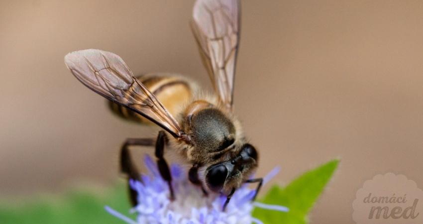 Včela východní (Apis cerana)