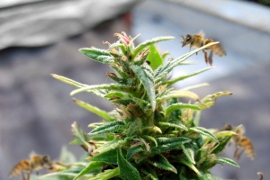 Včely a konopí