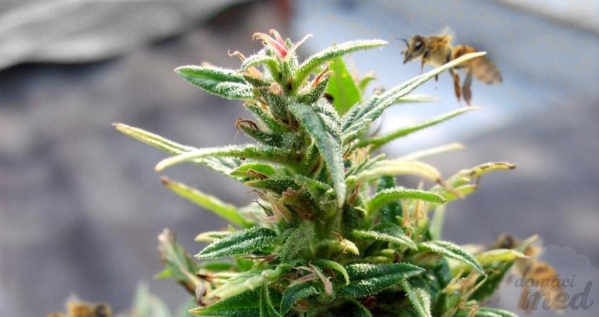 Včely na konopí